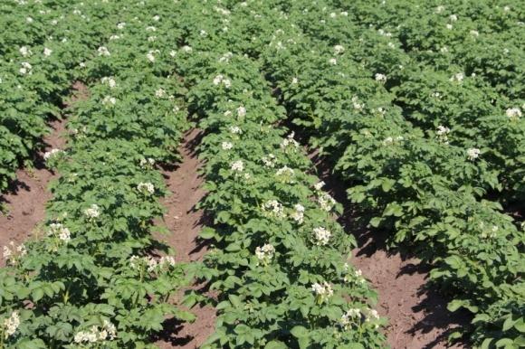 Эффективность фунгицидов против болезней картофеля фото, иллюстрация