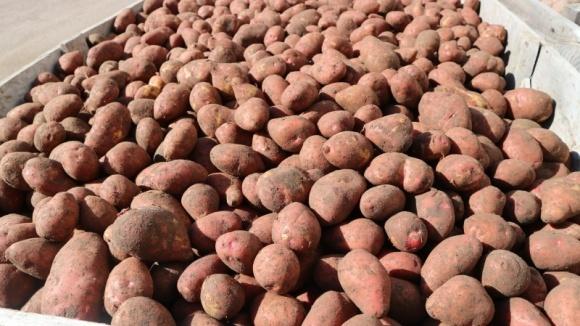 Будні чернігівських картоплярів: досвід вирощування картоплі в СТОВ Десна фото, ілюстрація