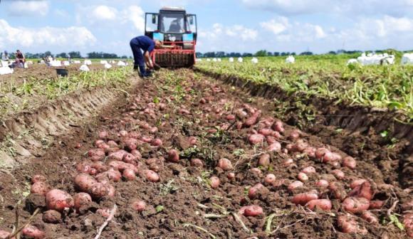 Выращивание сверхраннего картофеля в Николаевской области фото, иллюстрация