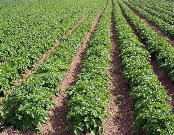 Cекрети вирощування насіннєвої картоплі фото, ілюстрація
