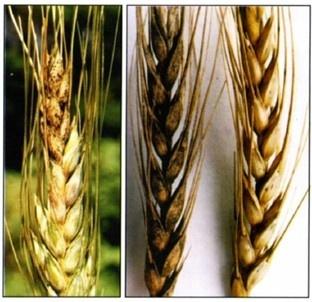 Протруйники для ярих зернових колосових фото, ілюстрація