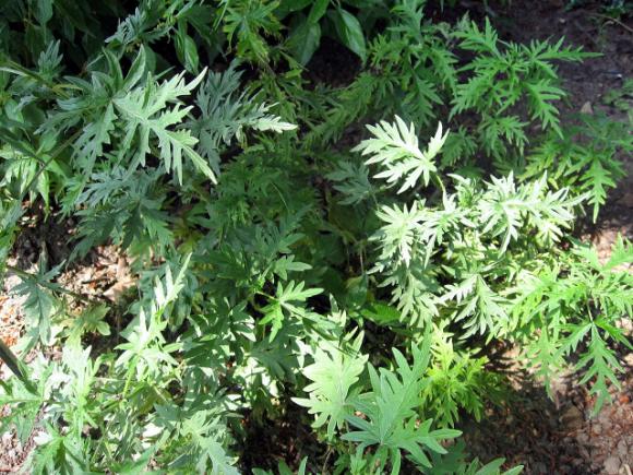 Кропива коноплевидна — нова високоврожайна кормова культура фото, ілюстрація