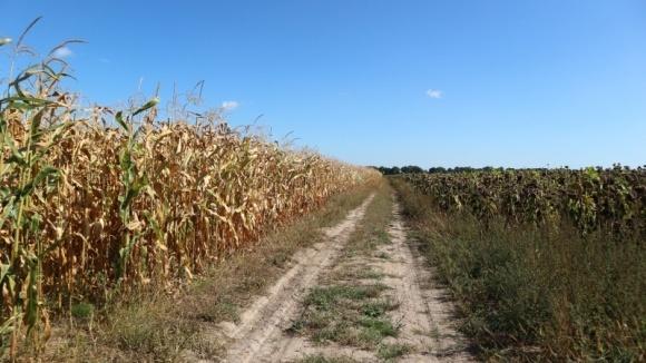 Кукуруза и подсолнечник прописались на Полесье фото, иллюстрация