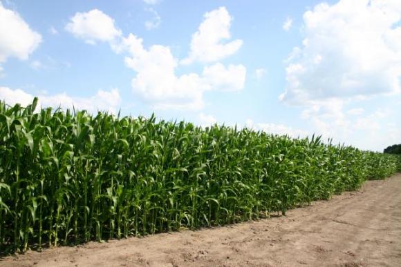 Здоров'я кукурудзи:  ймовірна загроза вирощеному врожаю фото, ілюстрація