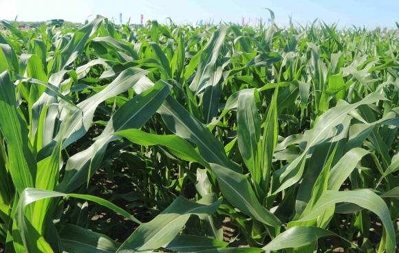 Пораженность кукурузы вредителями и болезнями в конце лета 2019 г. фото, иллюстрация