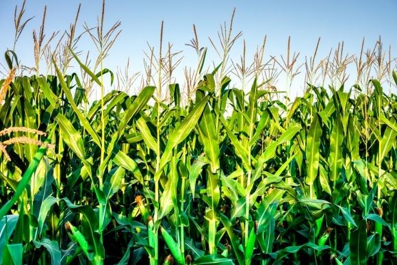 Живлення кукурудзи вимагає високого рівня заходів фото, ілюстрація