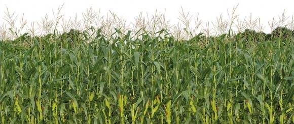 Вплив гідротермічних змін клімату та способу основного обробітку на продуктивність кукурудзи на зерно фото, ілюстрація