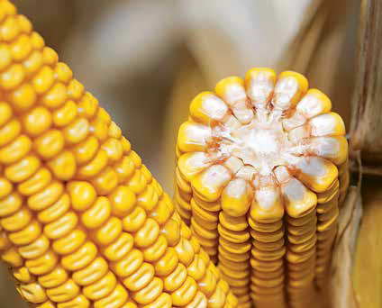 Скидання качанів у кукурудзи: причини та наслідки фото, ілюстрація
