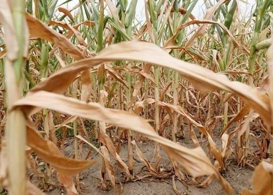 Фактори, які впливають на врожайність кукурудзи фото, ілюстрація