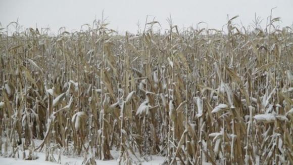 Що як зробити кукурудзу «озимою»? фото, ілюстрація