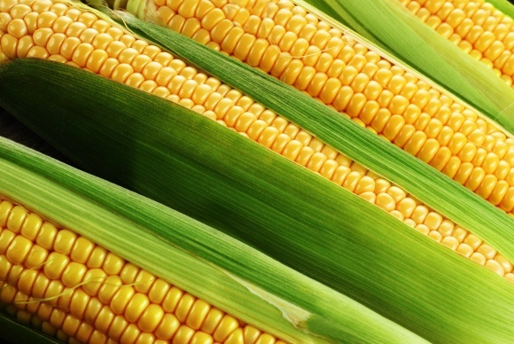 Причины невыполненности семян кукурузы фото, иллюстрация
