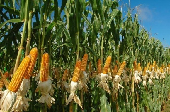 Сроки посева и продуктивность кукурузы фото, иллюстрация