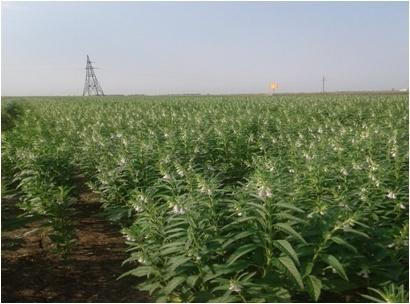 Особливості вирощування кунжуту в умовах Півдня України фото, ілюстрація