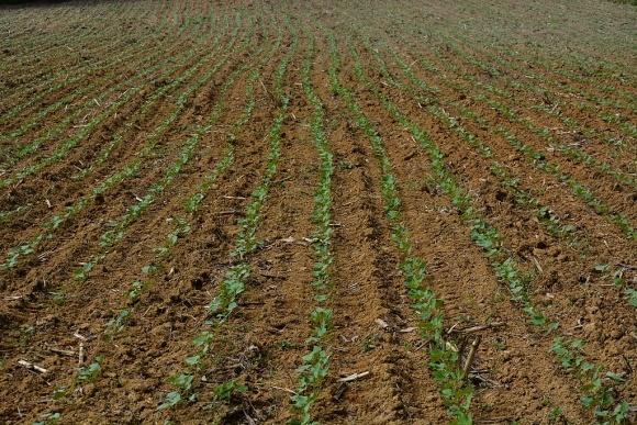 Особенности выращивания фасоли фото, иллюстрация