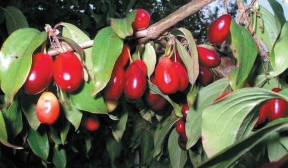 Кизил — новая культура в садоводстве фото, иллюстрация