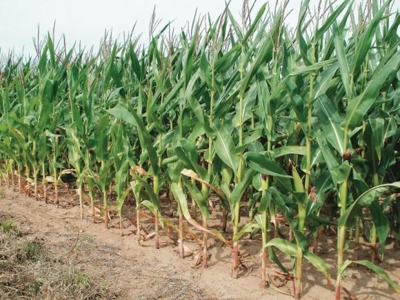 Почему нужна микоризация кукурузы? фото, иллюстрация