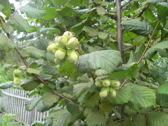 Выращивание ореха фундука в Польше фото, иллюстрация