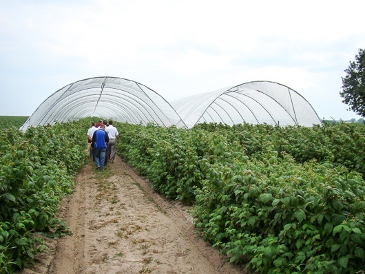 Выращивание малины в защищенном грунте фото, иллюстрация