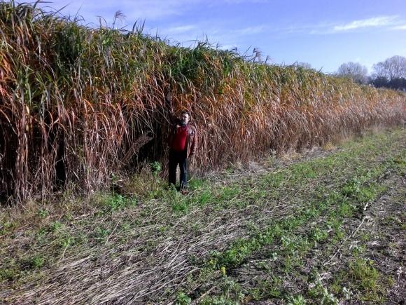 Мискантус: секреты выращивания биотоплива  от самых опытных фото, иллюстрация