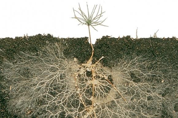 Переваги застосування ендомікоризних грибів у інокулянтах Rootella за умов водного дефіциту фото, ілюстрація