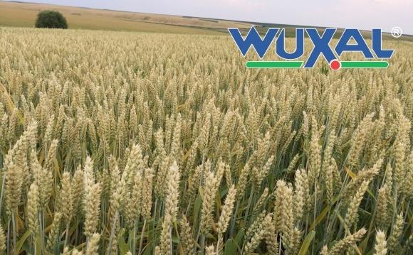 Передпосівна обробка насіння препаратом Вуксал фото, ілюстрація