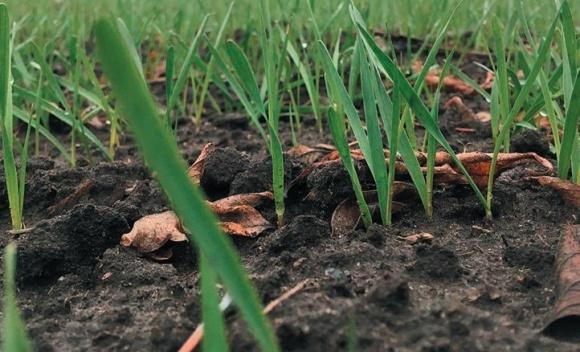 Осенний контроль сорняков в посевах пшеницы озимой фото, иллюстрация