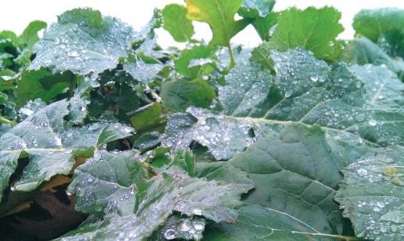 Осеннее внесение гербицидов на озимом рапсе  фото, иллюстрация