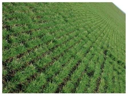 Осеннее удобрение озимых зерновых и зернобобовых культур фото, иллюстрация
