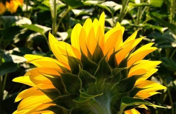 Боротьба з хворобами соняшнику: маленькі хитрощі бувалого аграрія фото, ілюстрація