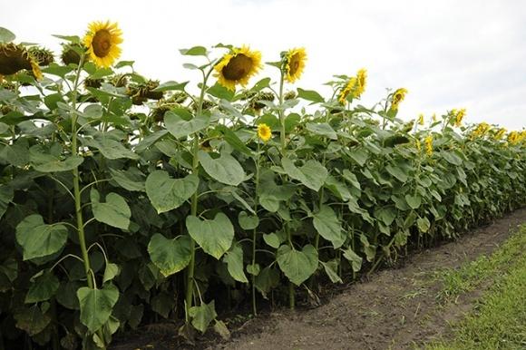 Грейд Про - захист соняшнику від бур'янів фото, ілюстрація