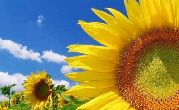 Симптоматика та особливості розвитку мікозів соняшнику (закінчення) фото, ілюстрація