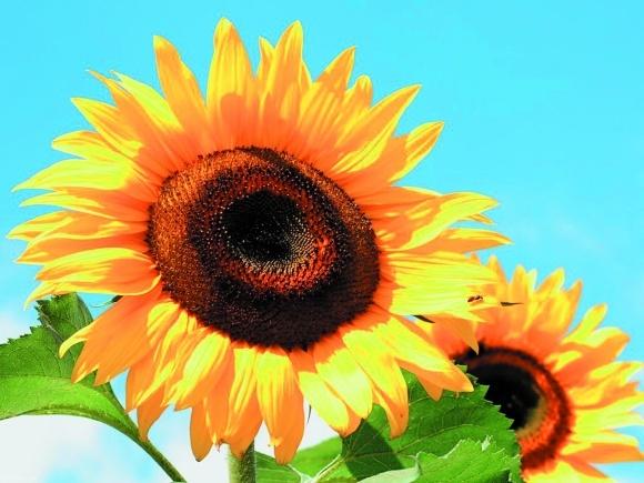 Удобрення соняшнику: сучасно та ефективно фото, ілюстрація