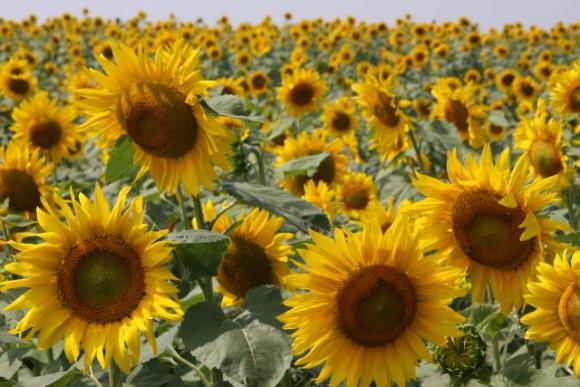Соняшник: шкідники й хвороби фото, ілюстрація
