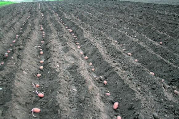 Сортооновлення картоплі фото, ілюстрація