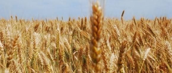 Особенности выращивания пшеницы по технологии «ноу-тилл» фото, иллюстрация