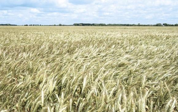 Хлебный жук кузька - угроза урожаю зерновых культур фото, иллюстрация