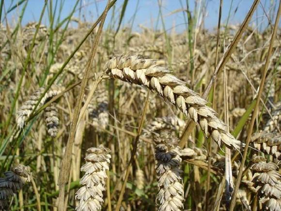Яровая пшеница - альтернатива озимой фото, иллюстрация