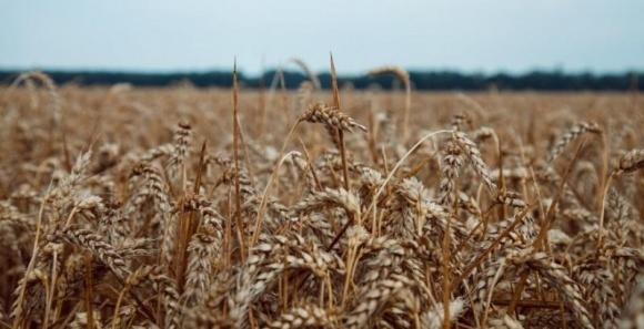 Стійкість нових сортів озимої пшениці проти листкових хвороб фото, ілюстрація