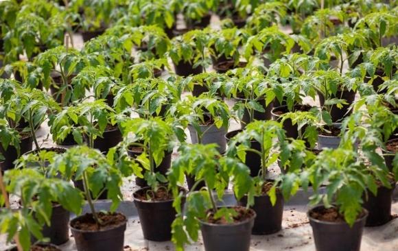 Хвороби розсади томатів фото, ілюстрація