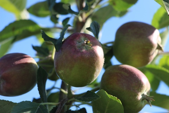 Переробка яблук: можливі варіанти фото, ілюстрація