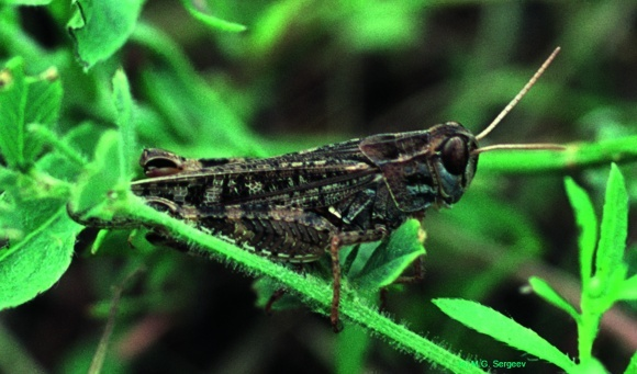 Саранові комахи - крилата небезпеку під контролем фото, ілюстрація