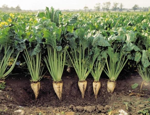 Раціональне керування вирощуванням цукрових буряків фото, ілюстрація