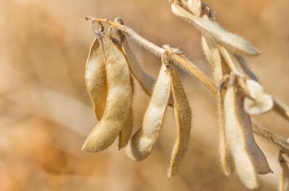 Як врятувати ріпак та бобові культури від розтріскування стручків? фото, ілюстрація
