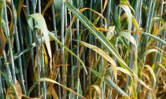 Весенняя защита пшеницы: британский опыт фото, иллюстрация