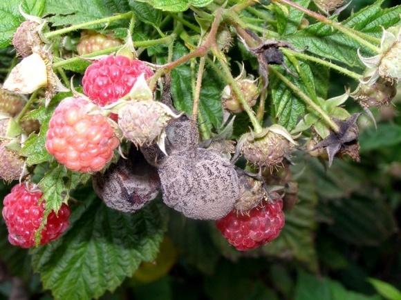 Самые распространенные вредители и болезни ягод малины и клубники фото, иллюстрация