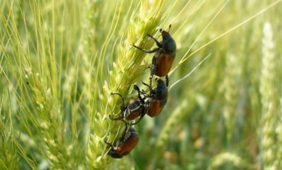Основные вредители колоса на зерновых фото, иллюстрация