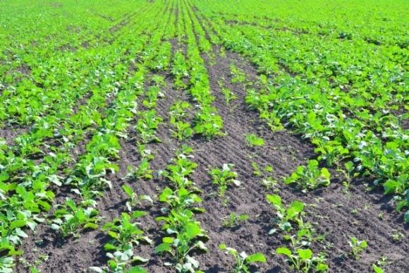 Оптимізація вирощування озимого ріпаку восени фото, ілюстрація