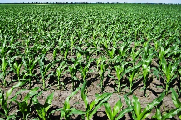 Раннє обстеження посівів кукурудзи фото, ілюстрація