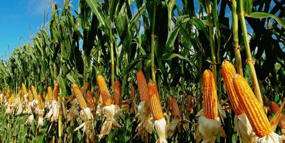 Кліматичні зміни б'ють по фермерах Кукурудзяного поясу та по гаманцях американських споживачів фото, ілюстрація