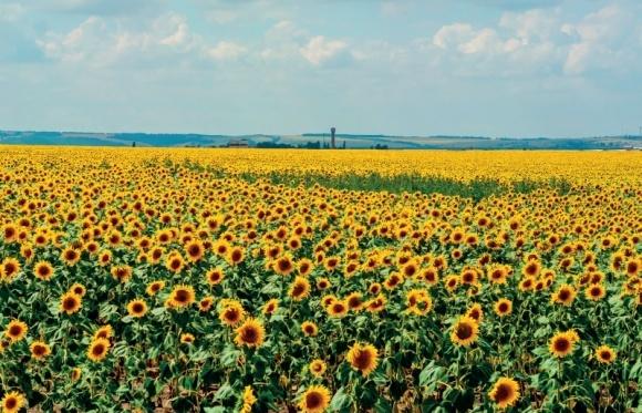 Доцільність застосування рістрегулятора БРІЛОН у посівах соняшника фото, ілюстрація